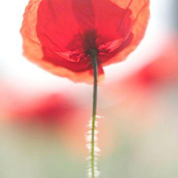 Poppy sur Martijn van der Nat