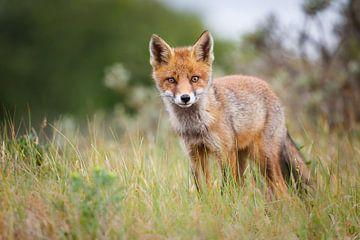 Red Fox Cub sur Pim Leijen