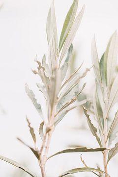 Olivenbaum | oklijtakken | Kunstfotografie von Lindy Schenk-Smit