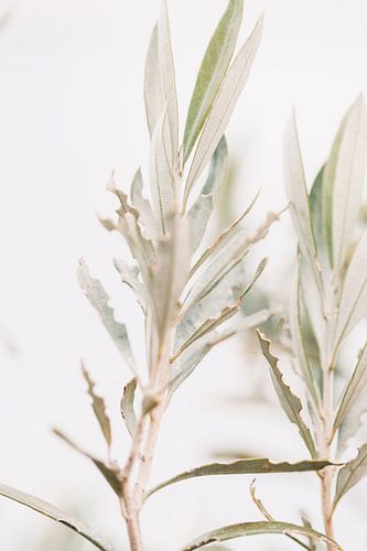 Olijfboom | olijftakken | fine art photography