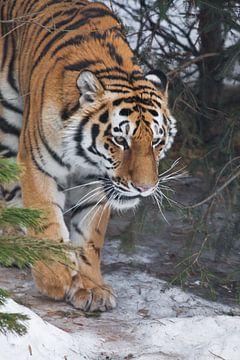 Tigre dans la forêt. Tigre de Sibérie (Amur tiger) parmi les sapins en hiver en gros plan, visage pu sur Michael Semenov