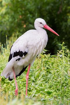 Portrait eines Storch stehend auf einem Bein in der Natur von Ben Schonewille