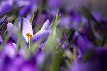 Saffron von Een Vrouwsel