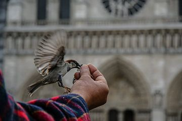 moineau d'une main à Notre Dame de Paris sur Eric van Nieuwland