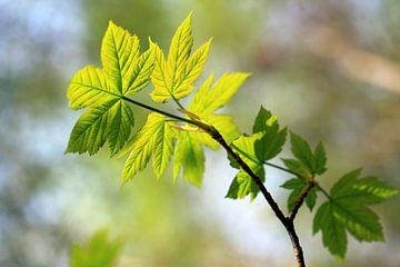 Spitz-Ahorn, Acer platanoides sur Renate Knapp