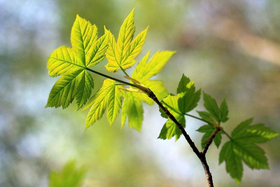 Spitz-Ahorn, Acer platanoides van Renate Knapp