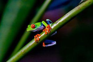 Rotäugiger Frosch von Merijn Loch