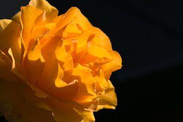 Zon in de roos van Judith Snel