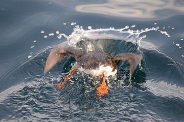 Papegaaiduiker duikt onder van