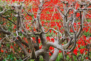 Doorkijk tulpenveld door beukenhaag van Leo Lamboo