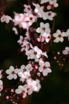 Baumblüte im Frühling von Thomas Jäger
