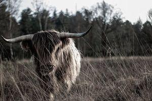 Schotse hooglander op de hei