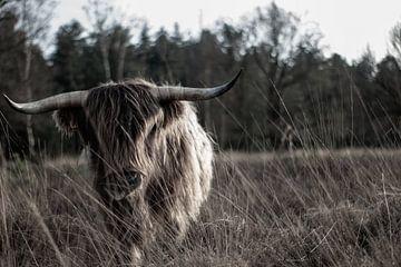 Schottischer Highlander auf dem Moor von Natasja Bittner