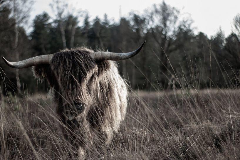 Schotse hooglander op de hei van Natasja Bittner