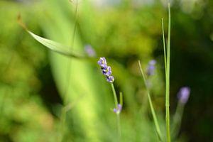 Lavendel van Clemens de Laat
