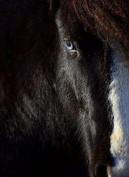 Islandpferd mit blauen Augen von Elisa Hanssen
