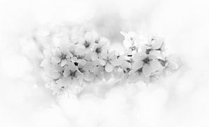 blossom close-up in black&white