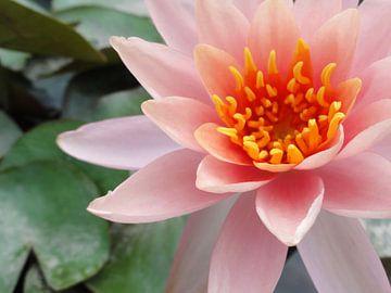 Roze lotus - detail van Lotte Veldt