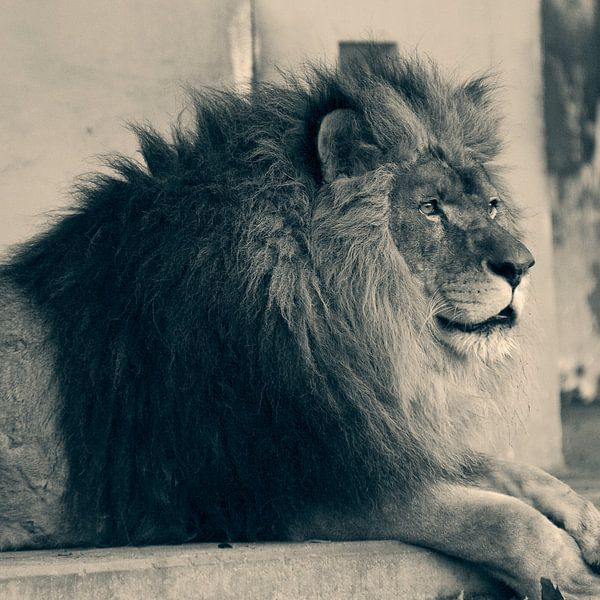 Leeuw van David Dirkx