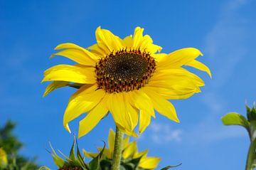 Sonnenblume von Berthold Werner