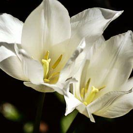 blanc sur noir - paire de tulipes sur Christine Nöhmeier