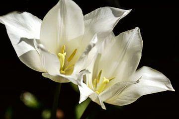 wit op zwart - tulpenpaar van Christine Nöhmeier