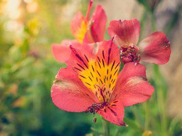 Rood Oranje Bloemen in het Zonlicht van Art By Dominic