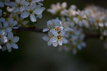 Weiße Frühlingsblüte von Lizet Wesselman