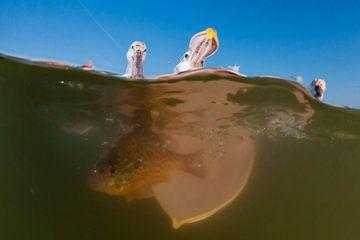 Kroeskoppelikaan vissend van AGAMI Photo Agency