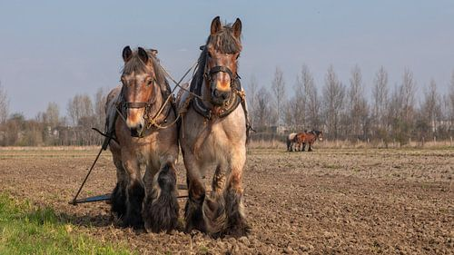 Trekpaarden voorjaarswerkzaamheden