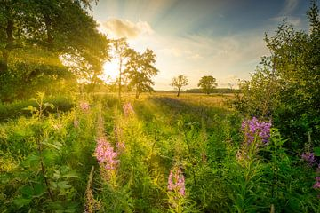 Een veld met Wilgenroosjes bloemen in zomer in Drenthe met prachtig licht. van Bas Meelker