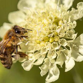 Biene auf Blüte von Marc Heiligenstein