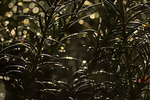 Detail van een taxusplant met bokeh lichtcirkels van Kristof Lauwers