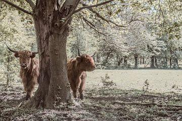 Schotse Hooglanders bij een boom van Elianne van Turennout