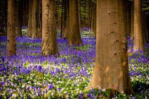 Spring in Hallerbos -  Valley of Tears