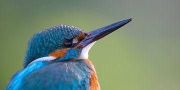 IJsvogel portret van