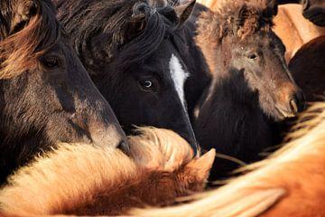Islandpferd in der Herde von Elisa in Iceland