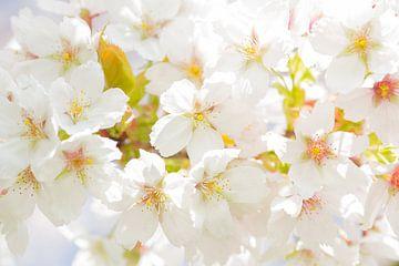 Kersen bloesem / cherry blossom sur Elles Rijsdijk