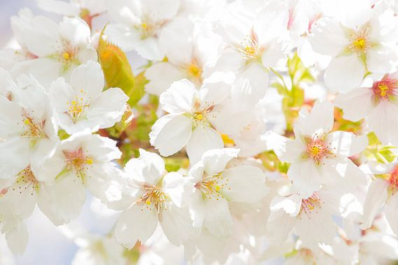 Kersen bloesem / cherry blossom