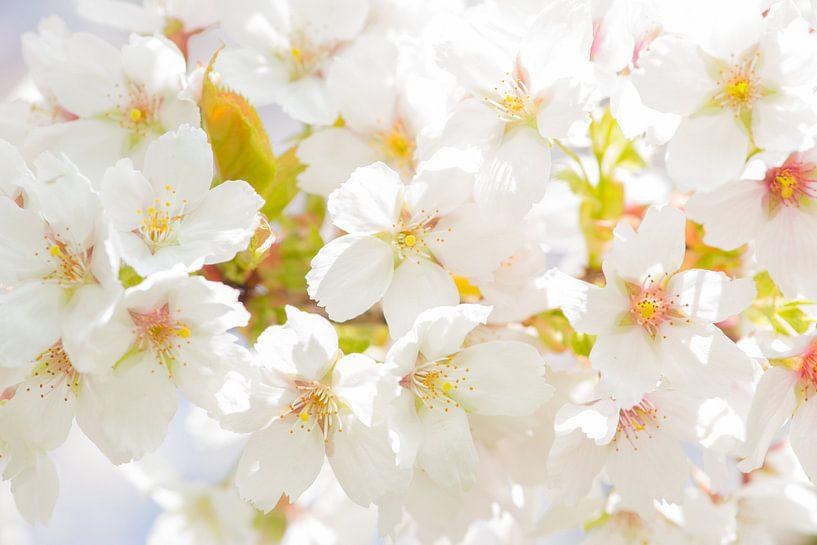 Kersen bloesem / cherry blossom van Elles Rijsdijk