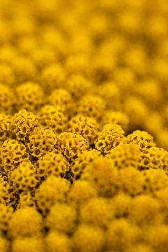 Gele bloem van