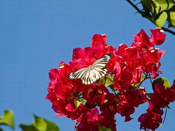 een vlinder fladderd boven een bloem van kees luiten