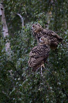 Uhus ( Bubo bubo ), zwei Eulen sitzen nebeneinander am späten Abend in einem Baum, wildlife, Europa. von wunderbare Erde