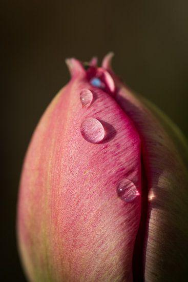 Closeup van een tulp met enkele dauwdruppels van Arjen Schippers