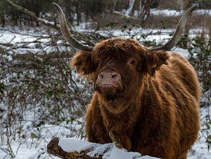 Schottischer Highlander im Schnee