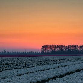 Tulpen veld en zonsopkomst van Bram van Broekhoven