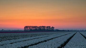 Tulpen veld en zonsopkomst