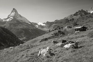 Les Vaches Findelen Zermatt Cervin