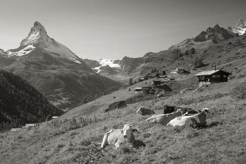 Kuhen Findelen Zermatt Matterhorn von Menno Boermans