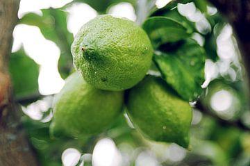 Limoenen aan een boom